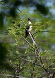 The pied cuckoo. Bird, birding, birdphotography, forest, green, blackandwhite, blackwhitebird stock photography