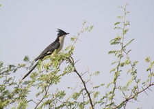 Pied Cuckoo. Or Jacobian Cuckoo or Pied Crested Cuckoo ( Clamator jacobinus), a monsoon visitor of Central India royalty free stock photography