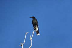 Pied currawong atop a tree Stock Photography