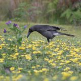 Pied currawong in the daisies Stock Image