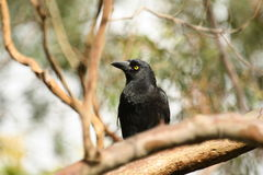 Pied Currawong (Strepera Graculina). A Pied Currawong in Sydney, Australia Royalty Free Stock Photos