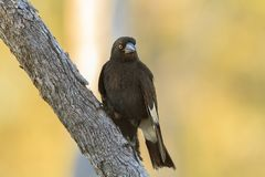 Pied Currawong Stock Photo