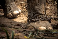 Pied de l'éléphant s attaché à une chaîne Photo libre de droits
