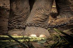 Pied de l'éléphant s attaché à une chaîne Photos stock