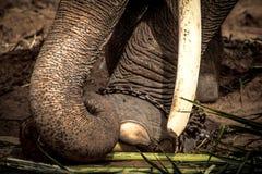 Pied de l'éléphant s attaché à une chaîne Photographie stock libre de droits