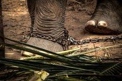 Pied de l'éléphant s attaché à une chaîne Photos libres de droits