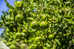 Pied de mandarine ponkan photo stock