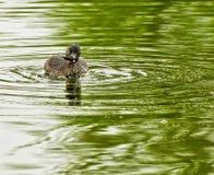 pied fakturerad dopping Fotografering för Bildbyråer