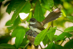 Pied Fantail bird Stock Photos