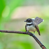 Pied Fantail bird Stock Images