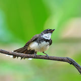 Pied Fantail bird Royalty Free Stock Photos