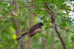 Pied Fantail Bird on a tree Stock Photography