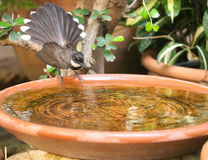 Pied fantail. In the garden Royalty Free Stock Image