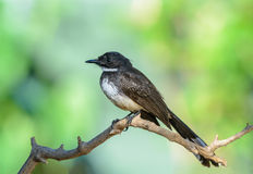Pied Fantail or Rhipidura javanica. Royalty Free Stock Images