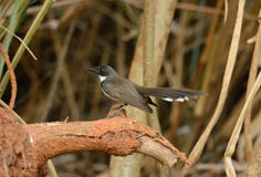 Pied Fantail (Rhipidura javanica) Stock Photos