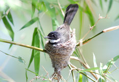 Pied Fantail Rhipidura javanica Royalty Free Stock Photos