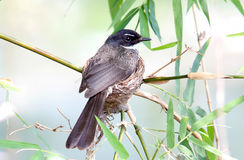 Pied Fantail Rhipidura javanica Royalty Free Stock Photography