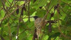 Pied Fantail, Rhipidura javanica, nature wild bird feeding its baby in nest stock video footage