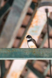 Pied Fantial Bird on a roof beam Stock Photography