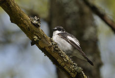Pied Flycatcher Obrazy Royalty Free