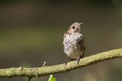 Pied Flycatcher Stock Images