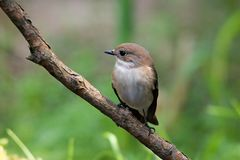 Pied Flycatcher Royalty Free Stock Photography