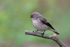Pied Flycatcher Royalty Free Stock Photos