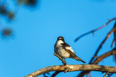Pied Flycatcher on a branch Royalty Free Stock Image
