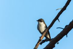Pied Flycatcher on a branch Royalty Free Stock Photos