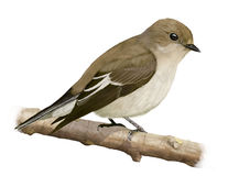Pied Flycatcher Royalty Free Stock Image