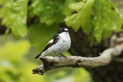 Pied flycatcher, Ficedula hypoleuca Obraz Royalty Free