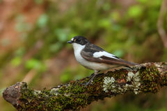 Pied flycatcher. Ficedula hypoleuca. Royalty Free Stock Images