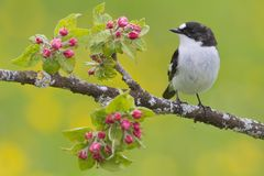 Euli-Txori beltza. A Pied flycatcher Ficedula hypoleuca on the branch of an apple tree with flowes Stock Photo