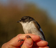 Pied flycatcher, Ficedula hypoleuca, male bird in a womans hand for bird banding Royalty Free Stock Images