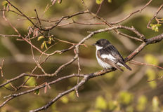 Pied Flycatcher - Ficedula hypoleuca Male on branch Royalty Free Stock Images