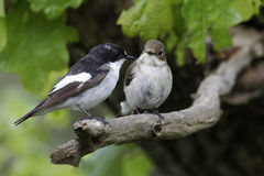 Pied flycatcher, Ficedula hypoleuca. Male and female on branch, Wales, May 2011 Stock Photos