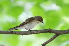 Pied Flycatcher Ficedula hypoleuca. 
