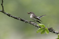 Pied flycatcher, Ficedula hypoleuca Royalty Free Stock Image