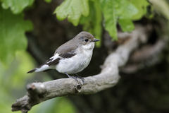Pied flycatcher, Ficedula hypoleuca Stock Photo