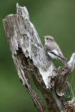 Pied flycatcher, Ficedula hypoleuca Stock Photos