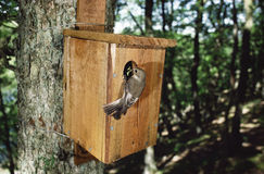 Pied flycatcher,  Ficedula hypoleuca Stock Photography