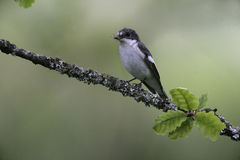 Pied flycatcher, Ficedula hypoleuca Royalty Free Stock Photo