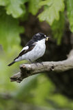 Pied flycatcher, Ficedula hypoleuca Royalty Free Stock Photos