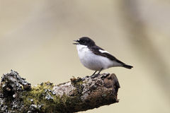 Pied flycatcher, Ficedula hypoleuca Royalty Free Stock Photography