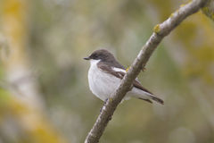 Pied Flycatcher, male (Ficedula hypoleuca). Pied Flycatcher, male, on a branch (Ficedula hypoleuca Stock Photo
