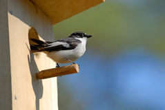 Pied flycatcher at the nesting box Stock Photography
