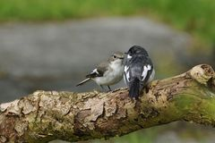 Pied Flycatcher pair Royalty Free Stock Photography