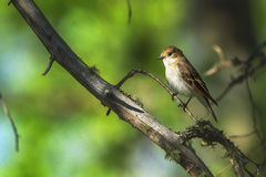 Pied Flycatcher sitting on a branch Royalty Free Stock Photo