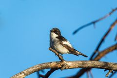 Pied Flycatcher Stock Photo
