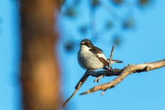 Pied Flycatcher on a tree branch Royalty Free Stock Photos